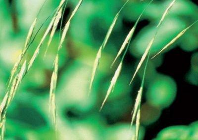 Wild oat
